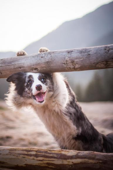 Border Collie Zoe wartet auf die ersten warmen Sonnenstrahlen im idyllischen Chocholowska-Tal. Zoe kann man als ein perfektes Model bezeichnen. Sie kennt alle Tricks, um vor der Kamera zu gefallen.