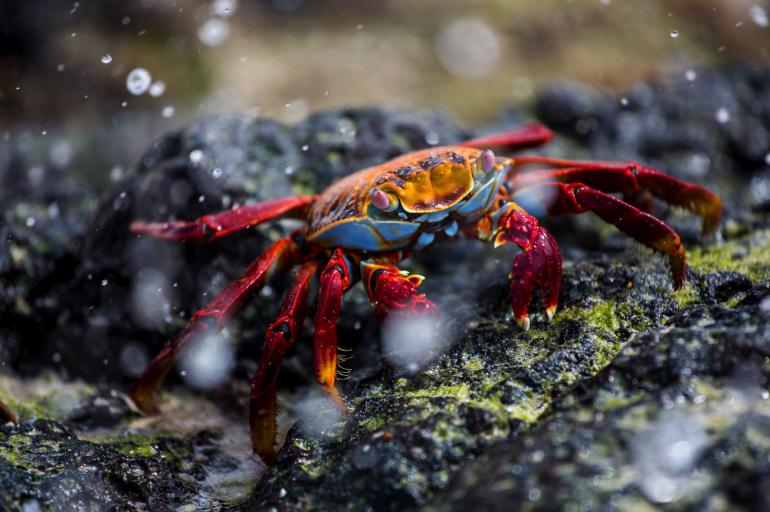 Splash! Eine Rote Klippenkrabbe bahnt sich ihren Weg.