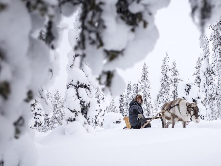 Rentiere als Fotomotive: Vor Ort wurde es den Kursteilnehmern ermöglicht, die Tiere zu fotografieren und mit ihnen eine Runde durch den Schnee zu fahren.