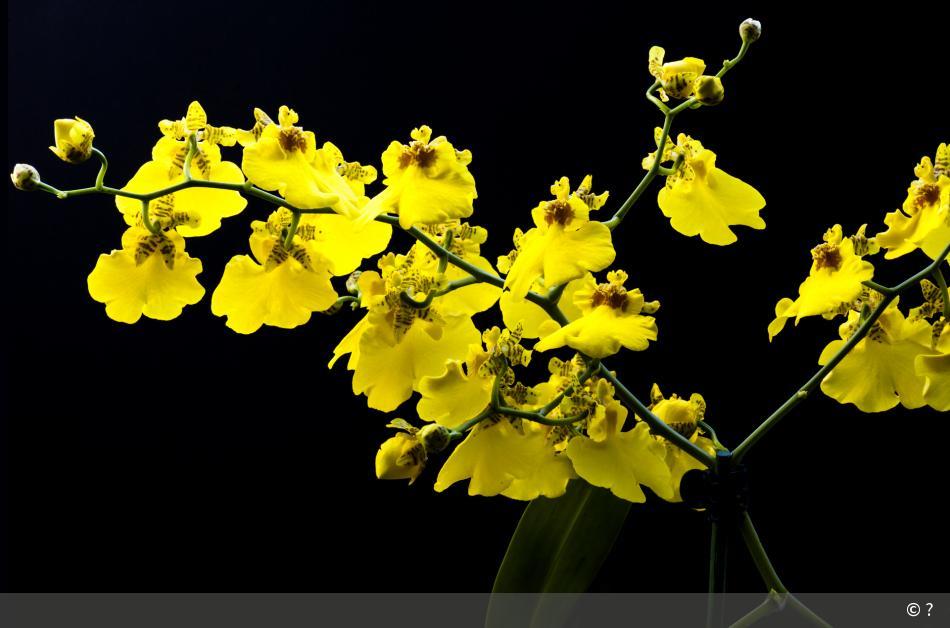 gelbe orchidee 22 digitalphoto. Black Bedroom Furniture Sets. Home Design Ideas