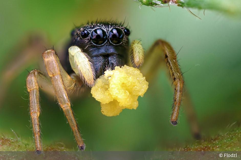 Vegetarische Spinne