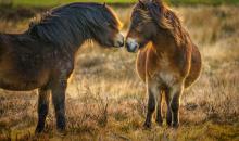 #alphaddicted reist zu den wilden Exmoor-Ponys im Süden Englands